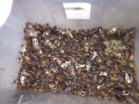 Deaths head cockroaches
