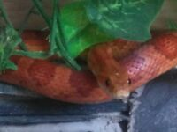Corn snake with full set up. Heat mat and tank.