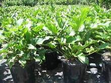 Philodendron Xanadu in 200mm pots Horseshoe Dr Nursery Gold Coast Mudgeeraba Gold Coast South Preview