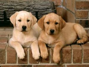 Wanted - Yellow/Golden Female Labrador Puppy Helena Valley Mundaring Area Preview