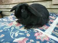 (1) Male Mini Lop Rabbit