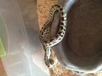 Desert king snake lowered price