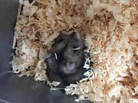 Male dwalf Russian hamster 🐹