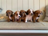 Jackshund Puppies (Jack Russell x Dachshund)