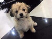3 stunning YorkshireTerrier x pure Maltese puppies