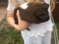 Guineapig male 3 years old