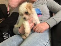 Female poochon puppy apricot and white