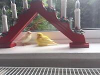 2 canaries ,male and female £ 80
