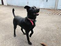 Cherche Labrador noir mâle pour inséminer
