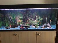Multiple Tropical Fish -Red Tail Shark, Silver Shark, Bristlenose Pleco, Kribnesis, Bosemani Rainbow