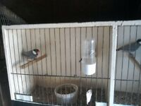 For Sale Java Sparrows