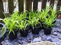 Shade loving ASTELIA plants.