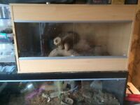 2 male bearded dragons with vivariums