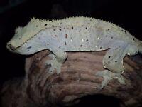 Male Bicolour Dalmatian crested gecko
