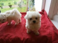 maltese girl pups kc reg tiny type mum has nature 2nd to none well wormed and socialised