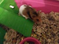 Beautiful young hamster in need of a special home
