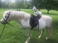 Keen rider needed for 12hh Welsh intermediate skill