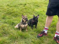 French Bulldog male and female