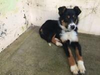 Collie x German Shephard 6 months old wonderful dog