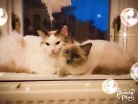 Stunning pure Ragdoll kittens