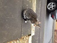 Found lovely young male tabby cat in Duddingston / Mountcasle area