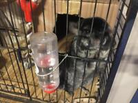 2 Chinchilla's and cage