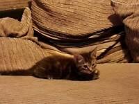 Kitten. Beautiful baby needs good home