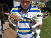 2male nueted brother rabbits