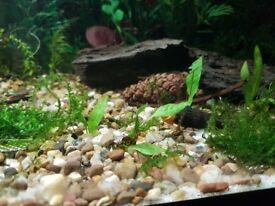 Java fern plant