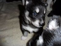 Black & white full pedigree Siberian husky pups
