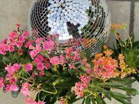 Lewisia flower plants