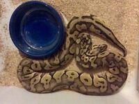 Royal Python - Super Pastel Fader
