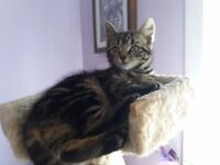 2 beautiful cheeky tabby girl kittens for sale