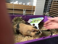 Guinea pig and cage for sale