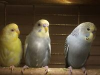 2016/17 Budgies For Sale
