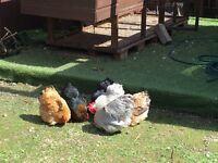 Wooden chicken cage/4 hens/2 cockerel