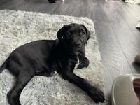 Sad sale of our cane Corso pup