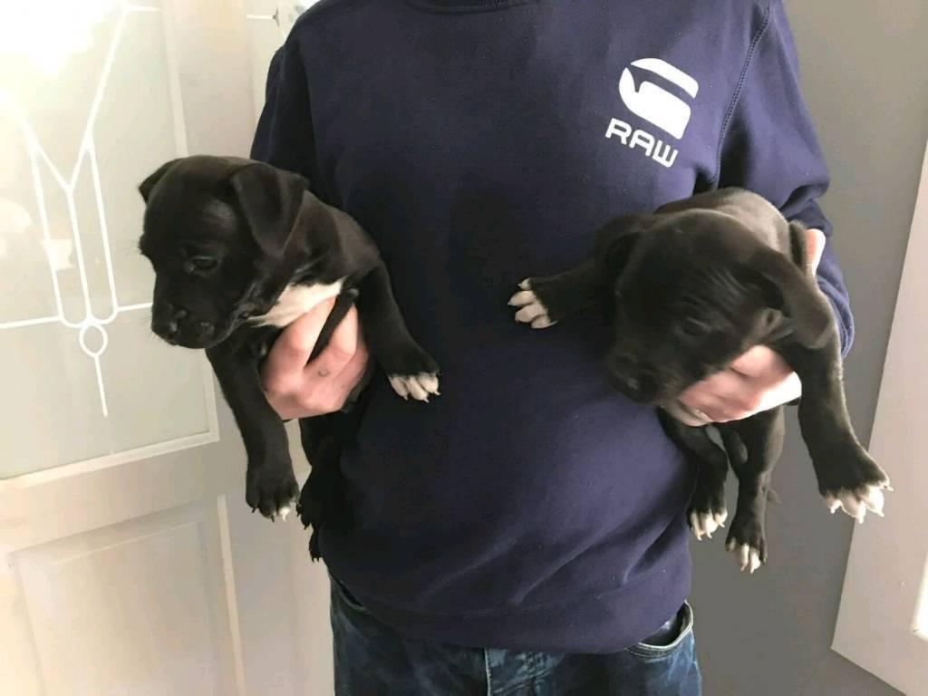2 x Staffordshire bull terrier pups