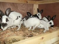 English rabbits £10 each, and Hutch £49.