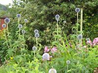 Echinops Plant