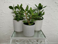 3 x Jade Money Plant Lucky plants included Ceramic pots, *£10 each*