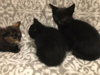 9 WEEKS OLD KITTENS FOR QUICK SALE - £50