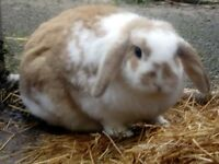 2 Lop eared Rabbits for free