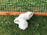 Baby brothers Guinea pigs