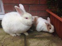 3 x Neutered Male Rabbits - 2 Large Satin Breed