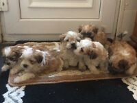 Lhasa apso x Maltese puppies for sale