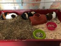 Guinea pigs (female)
