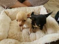 Chihuahua puppies 2 girls 1 boy