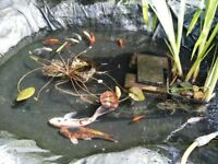 Butterfly Koi and Ghost Koi and other pond fish for sale