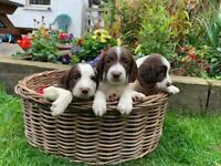 KC Springer spaniel puppies